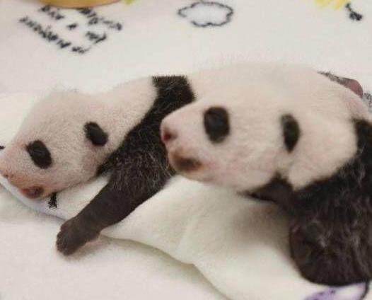 民署為大熊貓孖寶徵名