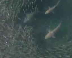 鯊魚誤闖陣地  魚群大逃亡