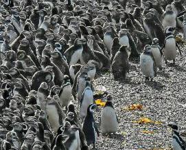 逾百萬隻企鵝阿根廷海灘繁殖