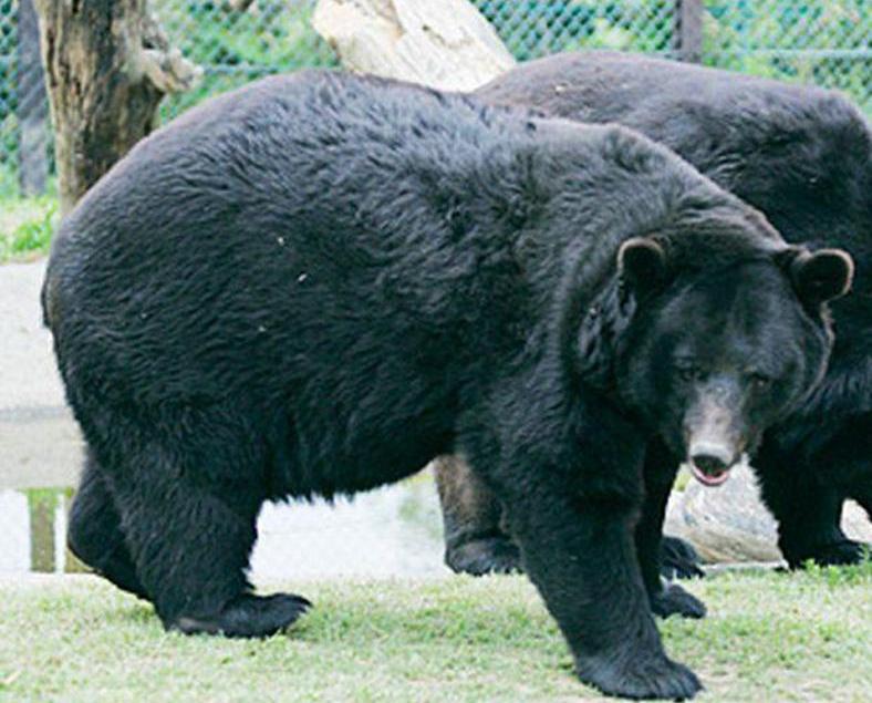 日動物園黑熊登車咬死員工