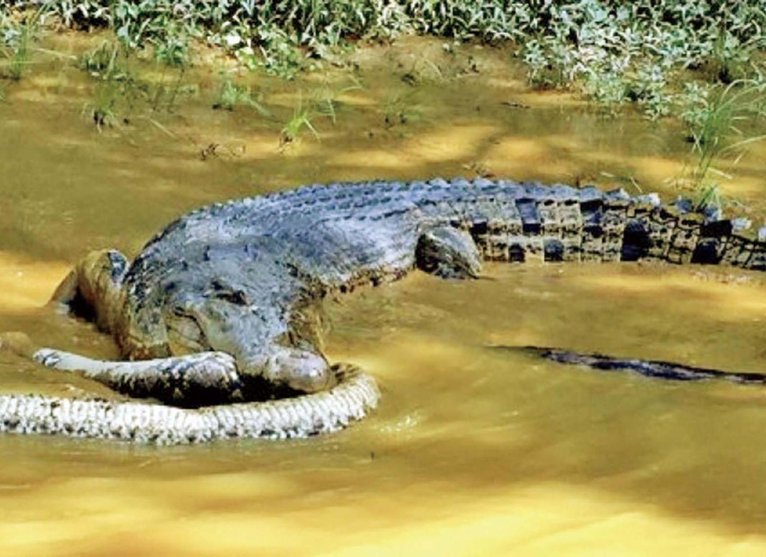疑被鱷魚叼走