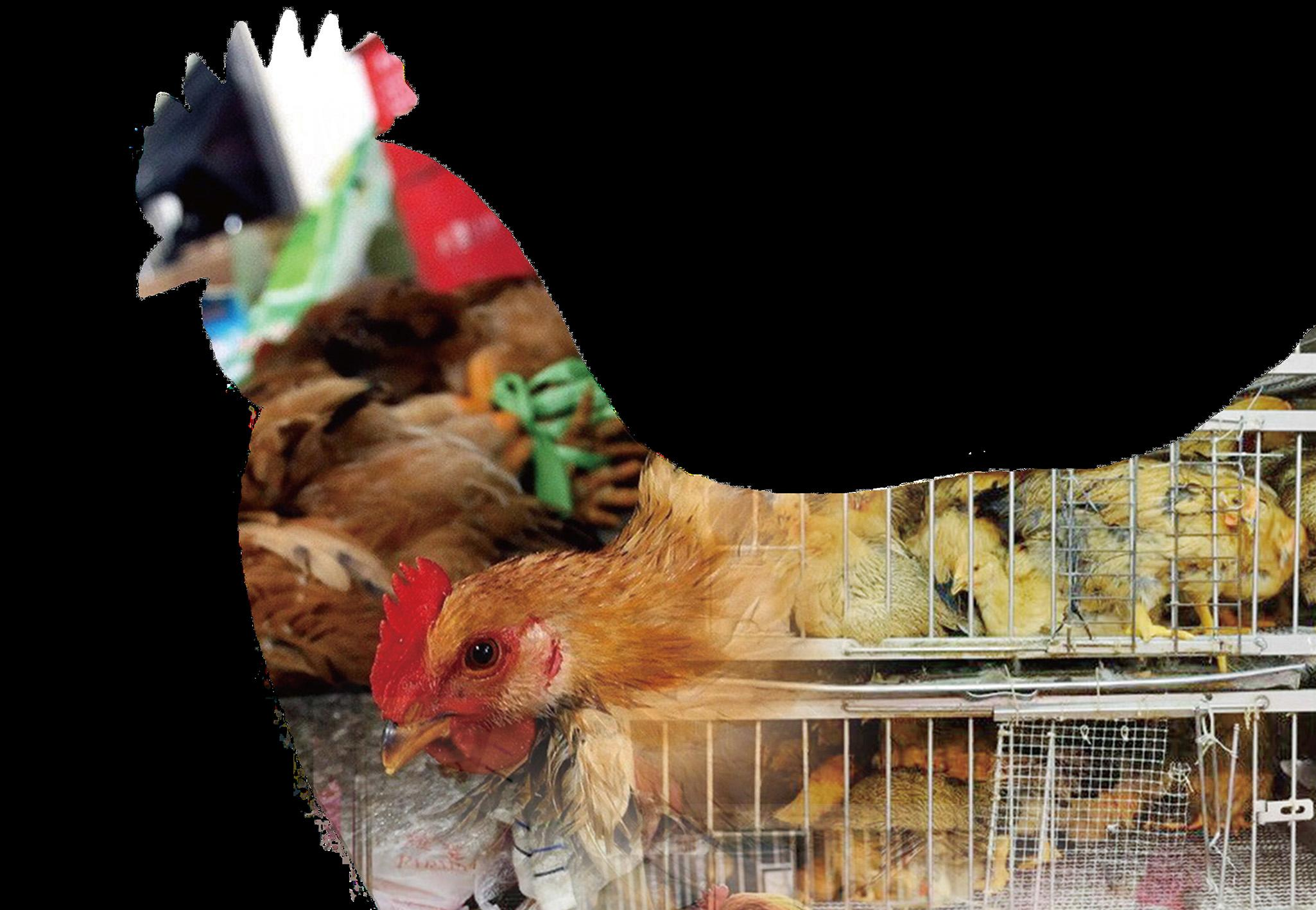 居民在本澳食活雞成絕響