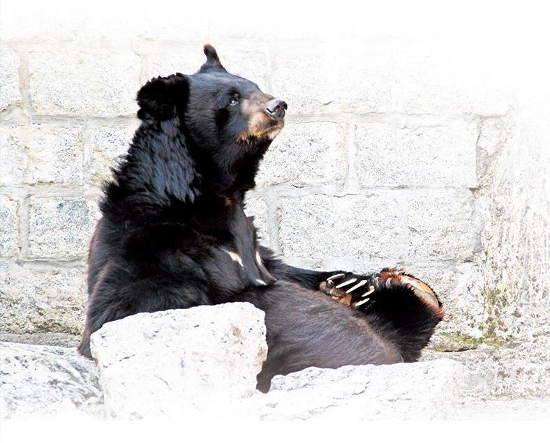 黑熊BOBO被迫遷?