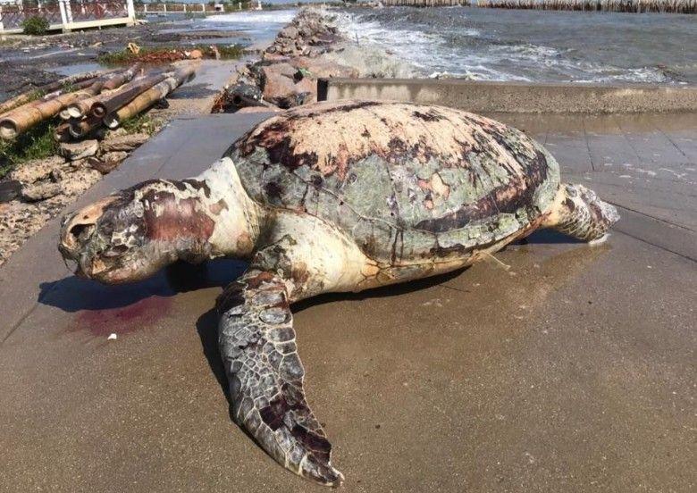 70公斤海龜滿肚膠袋慘死泰沙灘