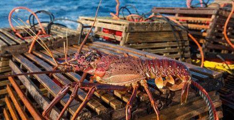 西澳廢除龍蝦冬季禁捕令