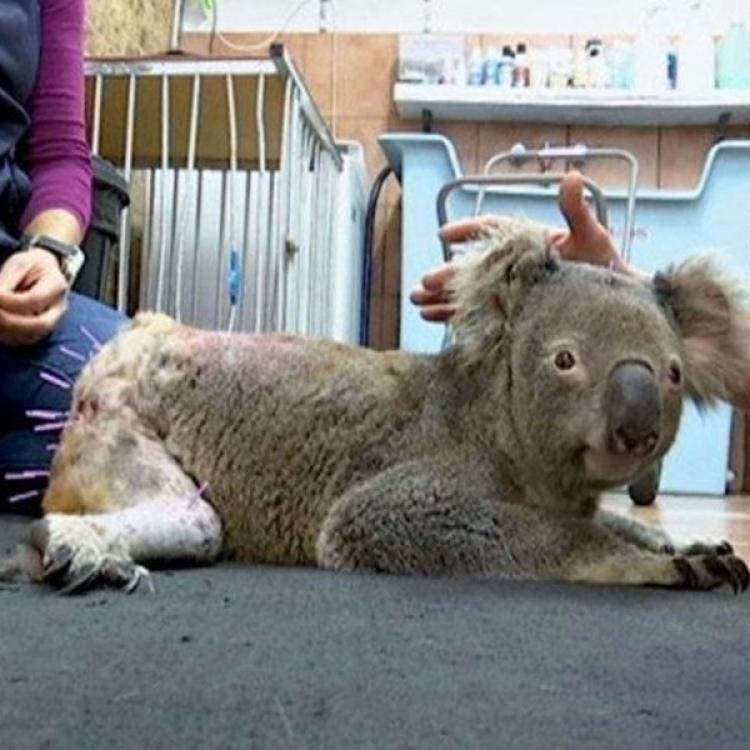 澳洲獸醫用針灸術治癒樹熊