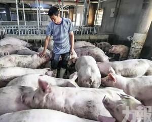 上月豬肉批發價43元/公斤