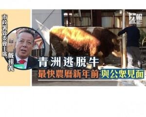 青洲逃脫牛最快農曆新年前與公眾見面