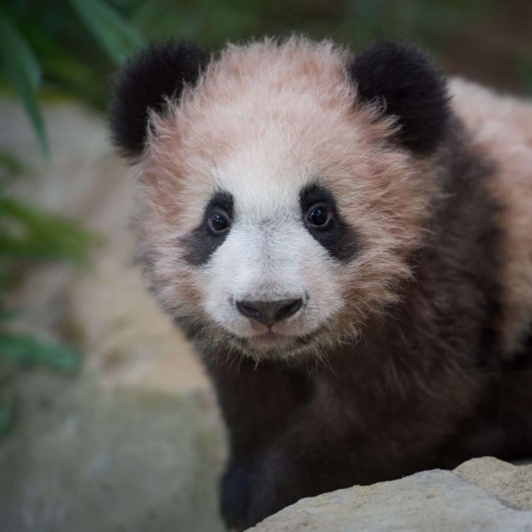 法國出生大熊貓「圓夢」首見公眾