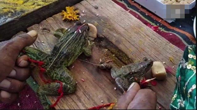 【神奇國度】印度人求雨安排青蛙結婚